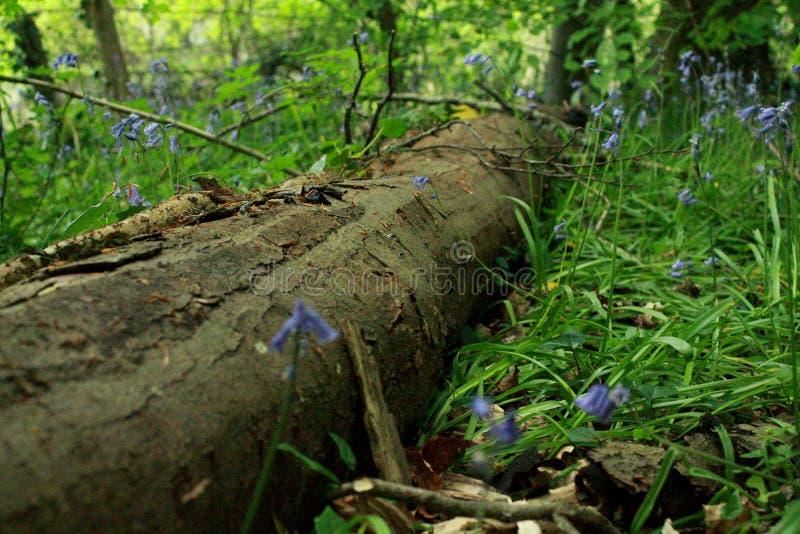 Árbol caido en bosque con campanillas fotos de archivo