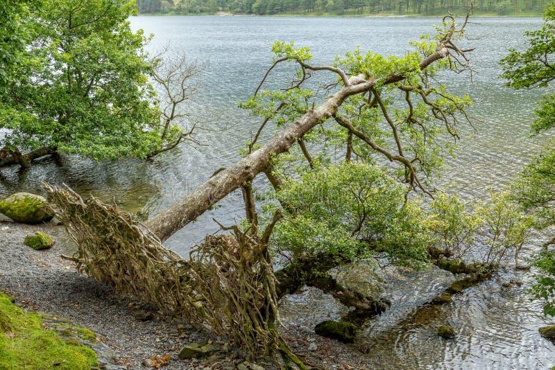 Árbol caido en Buttermere, distrito Reino Unido del lago fotos de archivo