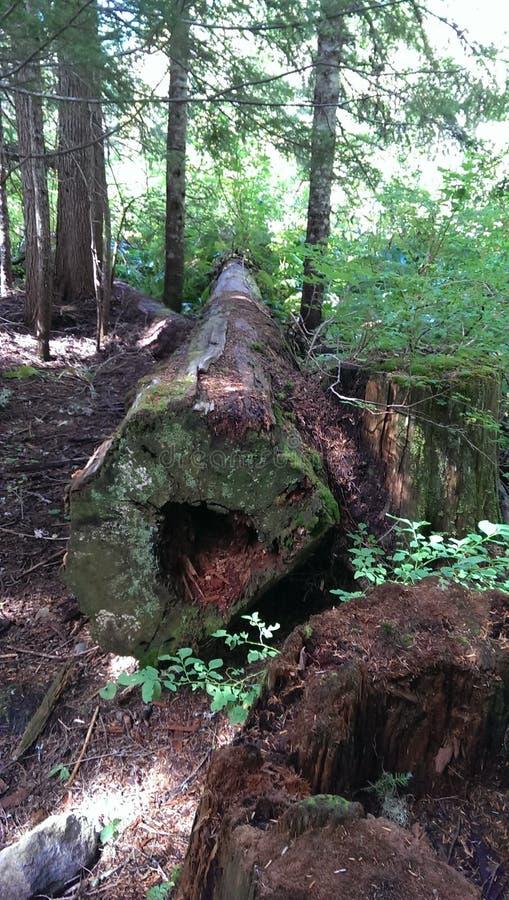 Árbol caido en el bosque de Oregon fotografía de archivo