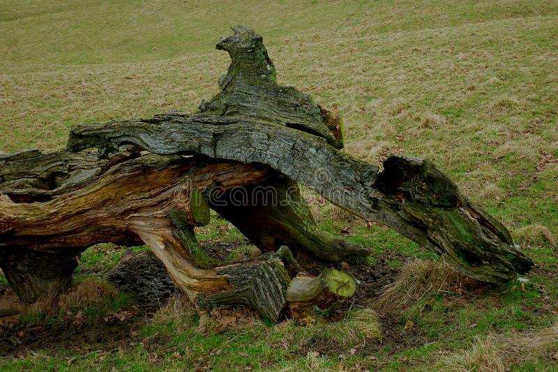 Árbol caido, parque de Chatsworth, Derbyshire imágenes de archivo libres de regalías