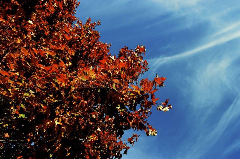 Árbol castaño foto de archivo
