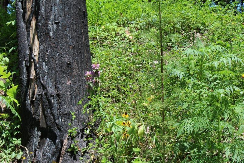 Árbol chamuscado del incendio forestal fotos de archivo libres de regalías