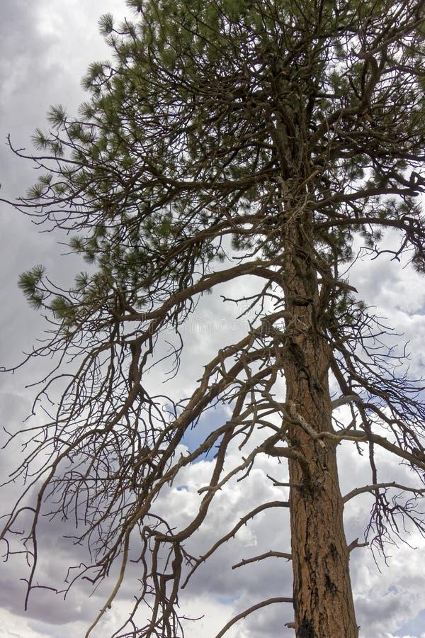Árbol chamuscado en el bosque de Kaibab fotos de archivo