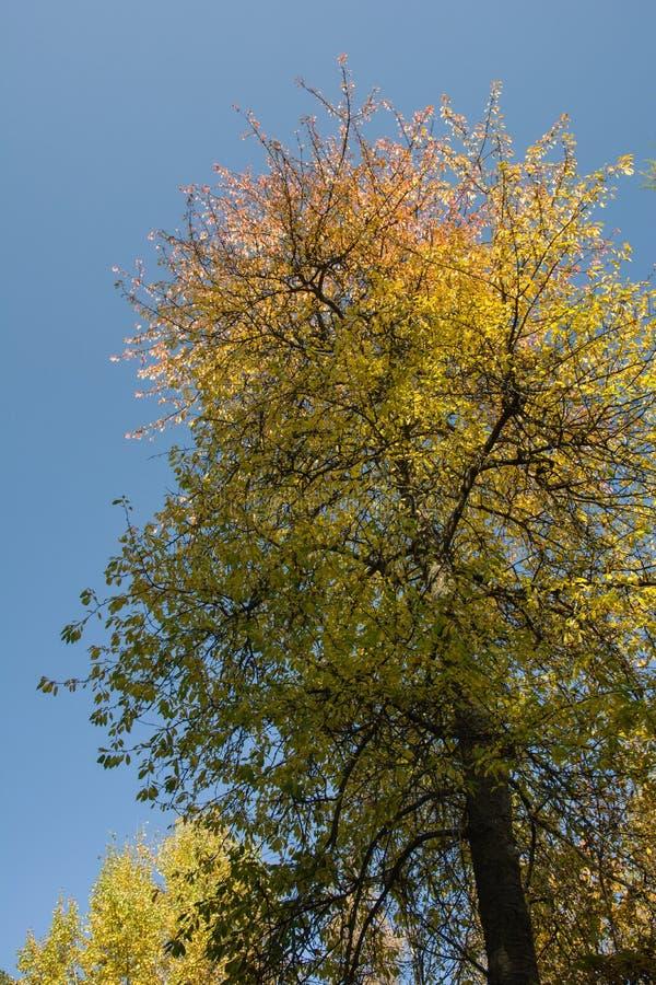 Árbol coloreado otoñal y cielo azul fotos de archivo