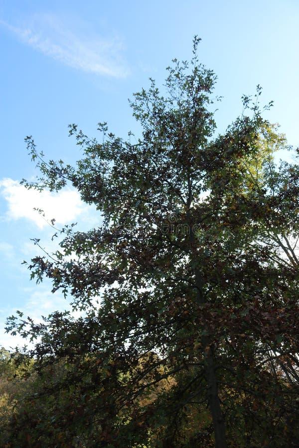 Árbol con el cielo azul fotos de archivo