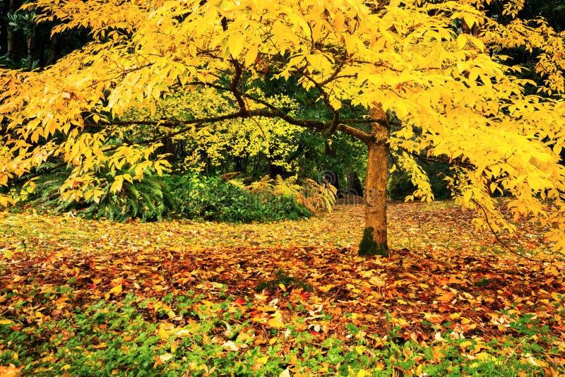 Árbol con el follaje de otoño amarillo foto de archivo libre de regalías