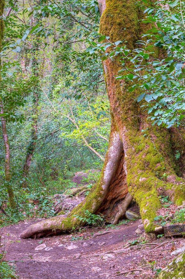 Árbol con el hueco en el bosque, HDR fotos de archivo