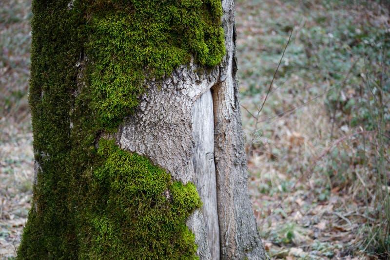 árbol con el musgo en raíces en un bosque verde o el musgo en tronco de árbol Corteza de árbol con el musgo verde Naturaleza de A fotografía de archivo