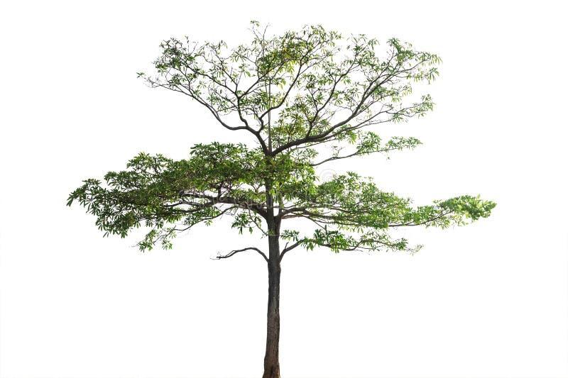 Árbol con la rama aislada, trayectoria de recortes fotos de archivo