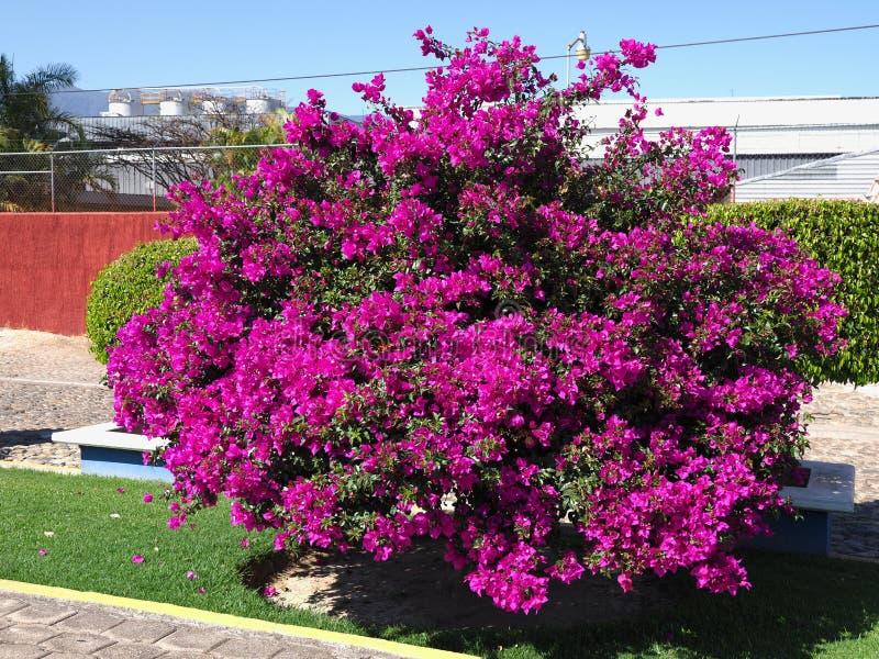 ?rbol con las flores violetas y restaurante en ciudad mexicana en la ciudad de Santa Maria del Tule en M?xico fotos de archivo