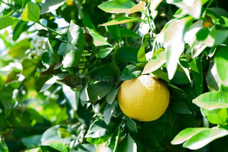 Árbol con las frutas maduras de la uva imagenes de archivo