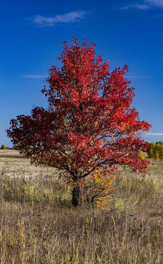 Árbol con las hojas rojas que se colocan solamente en el campo imagen de archivo libre de regalías