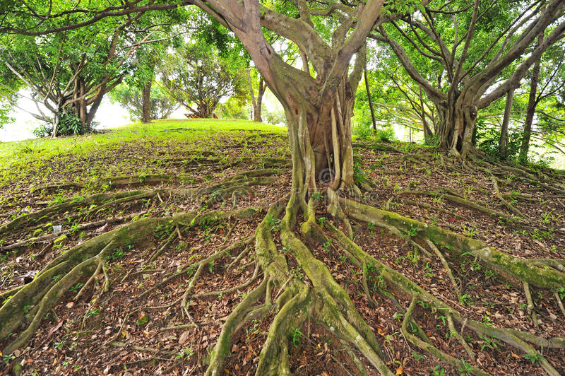 Árbol con las raíces del contrafuerte imagen de archivo libre de regalías