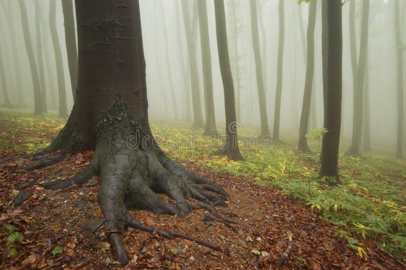 Árbol con las raíces en un bosque colorido con niebla fotografía de archivo libre de regalías