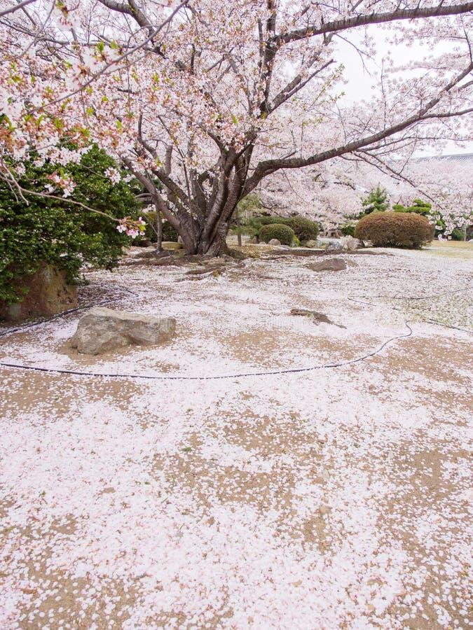 Árbol con los pétalos caidos, orientación vertical, Himeji, Japón de Somei Yoshino Cherry Blossom imagen de archivo
