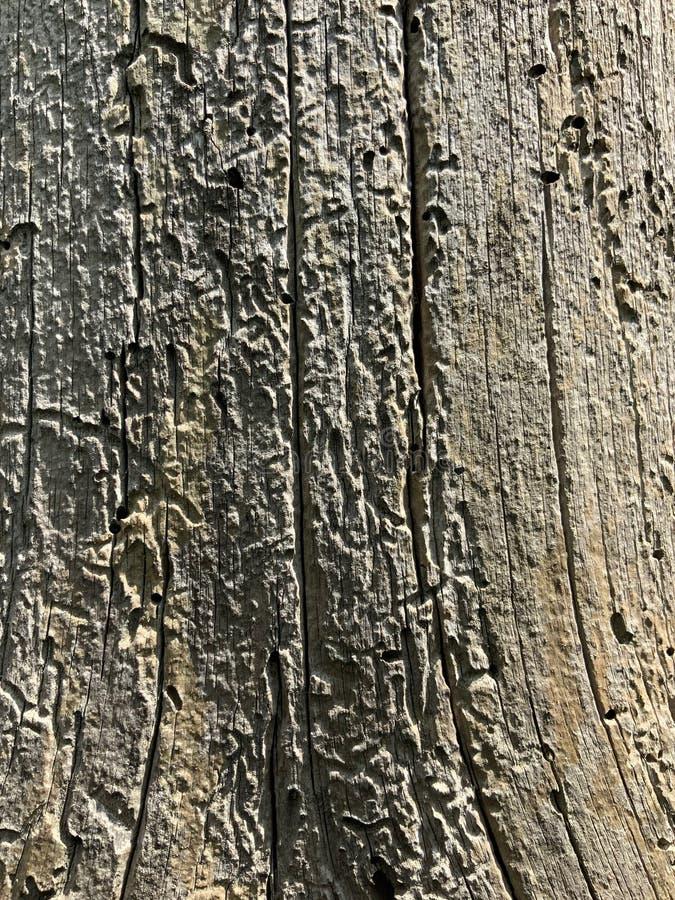 Árbol con los rastros del escarabajo de corteza, textura para el fondo fotografía de archivo