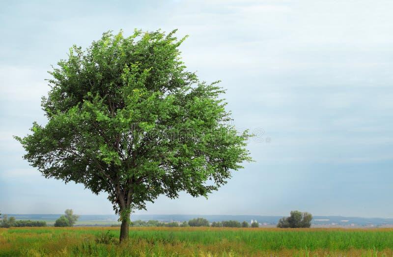 Árbol creciente solo imágenes de archivo libres de regalías