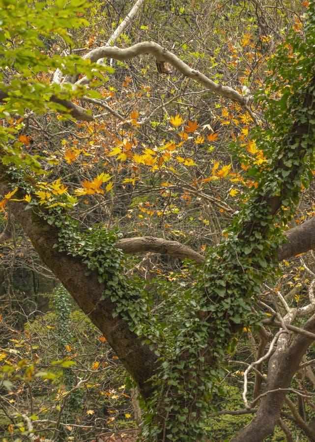 Árbol cubierto con la hiedra verde en el bosque del otoño fotografía de archivo