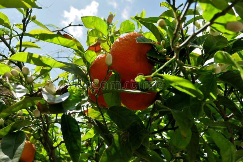 Árbol cubierto con las naranjas maduras y las flores blancas foto de archivo