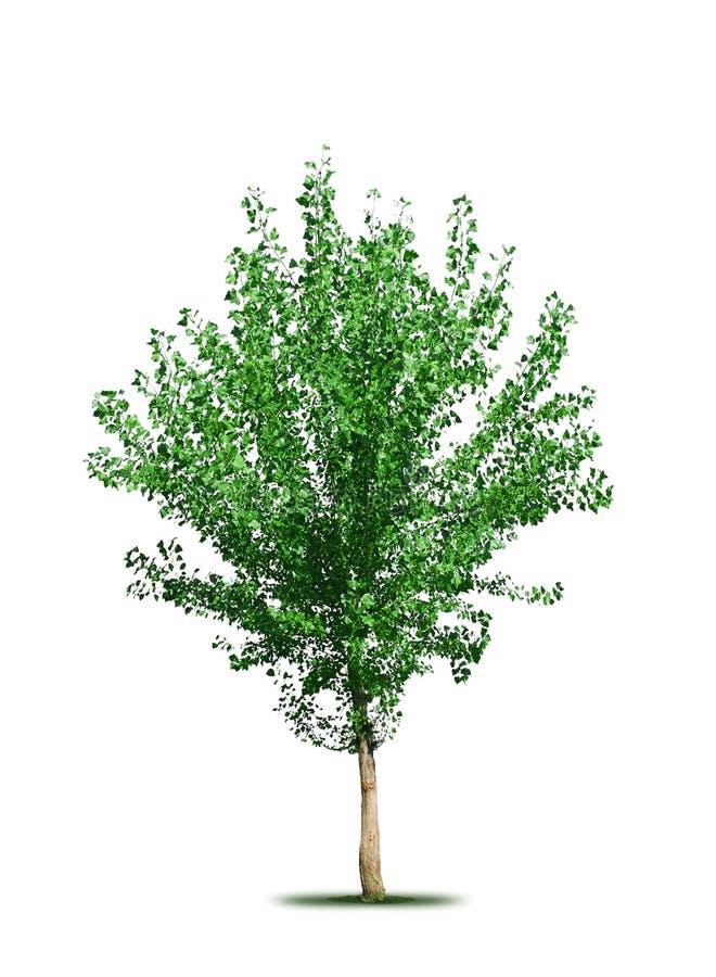 Árbol de álamo ilustración del vector