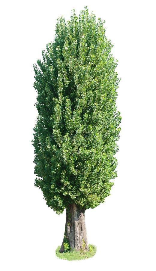 Árbol de álamo. fotos de archivo