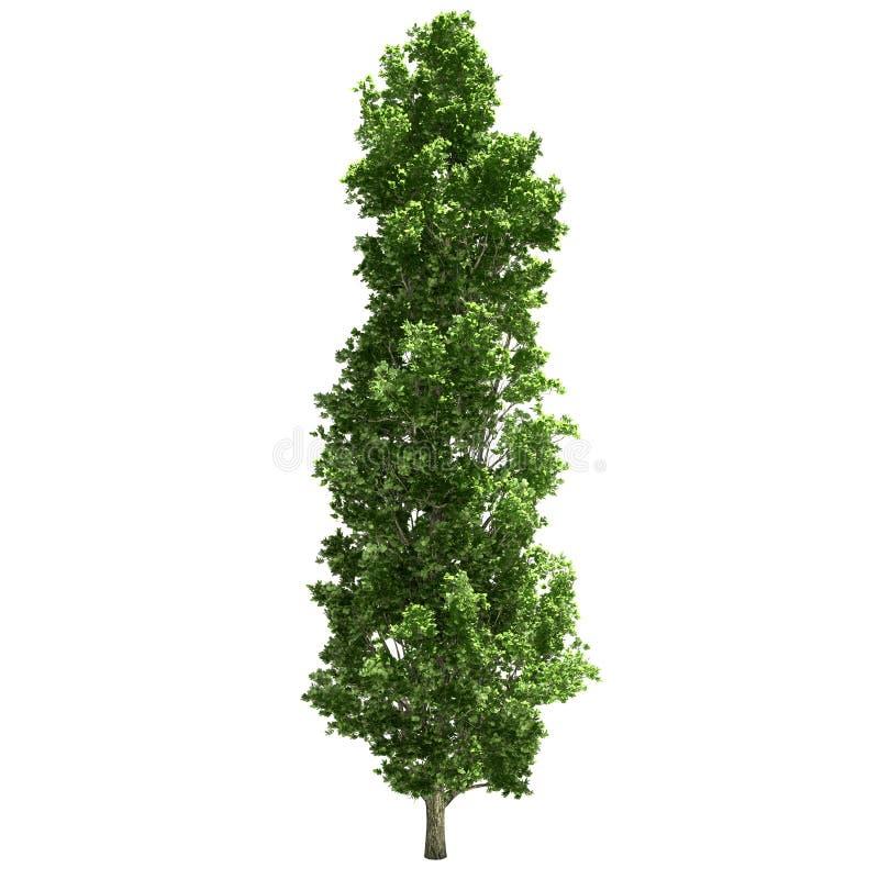 Árbol de álamo aislado stock de ilustración