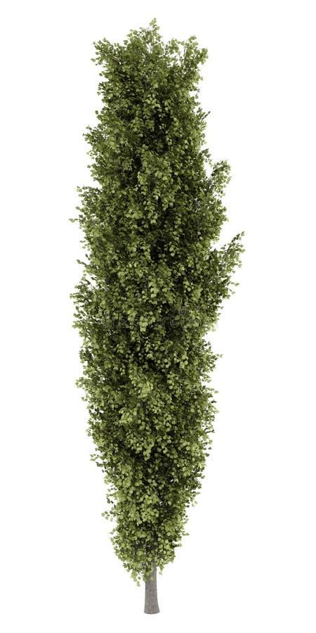 Árbol de álamo aislado en blanco libre illustration