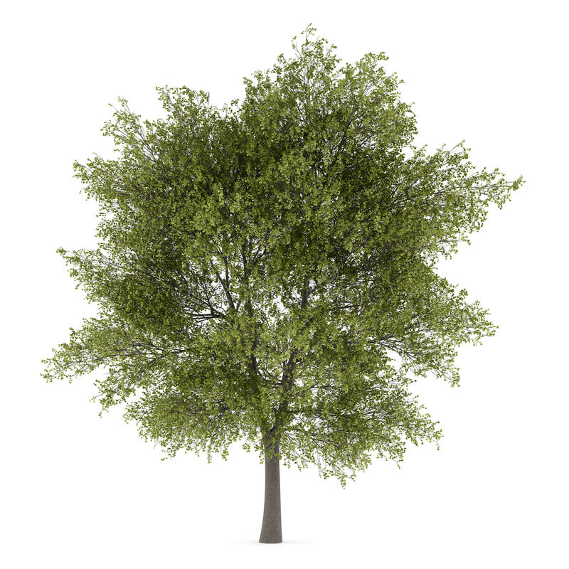 Árbol de álamo aislado en blanco ilustración del vector