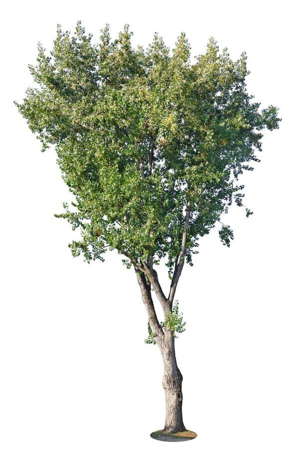 Árbol de álamo feo viejo grande aislado en blanco fotografía de archivo libre de regalías