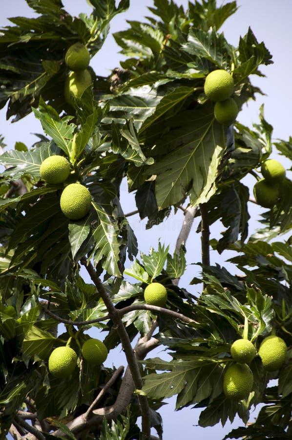 Árbol de árboles del pan fotos de archivo