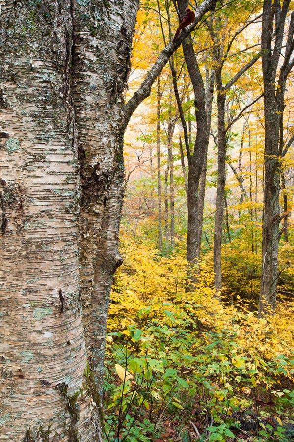 Árbol de abedul amarillo del otoño y bosque del apalache imagenes de archivo