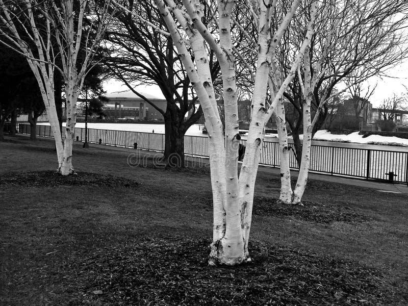 Árbol de abedul blanco en parque fotos de archivo