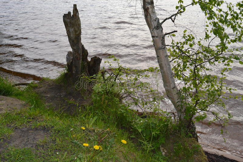 árbol de abedul cerca del lago fotografía de archivo libre de regalías