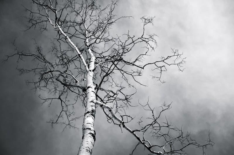 Árbol de abedul desnudo en blanco y negro fotografía de archivo libre de regalías