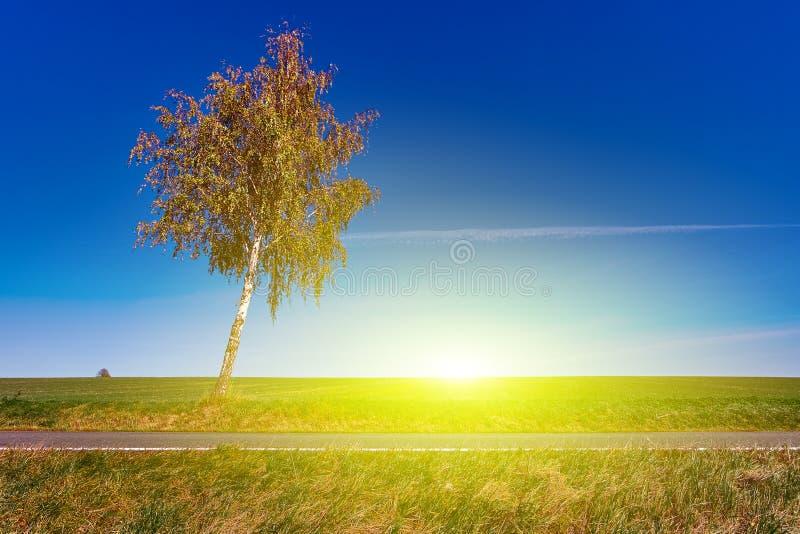 Árbol de abedul solo en el campo con un cielo azul de la salida del sol de la puesta del sol en fondo y el camino foto de archivo