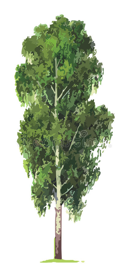 Árbol de abedul. Vector stock de ilustración
