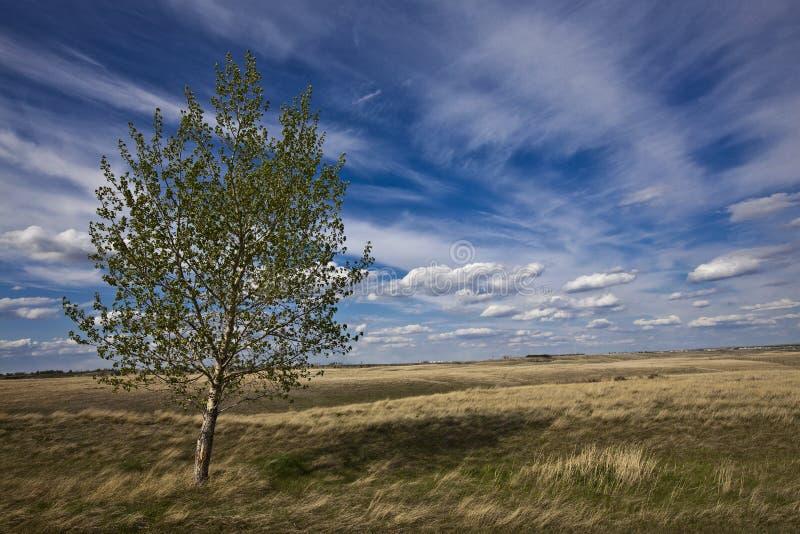 Árbol de abedul y los cielos azules nublados imagen de archivo