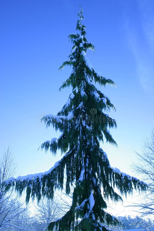 Árbol de abeto foto de archivo libre de regalías