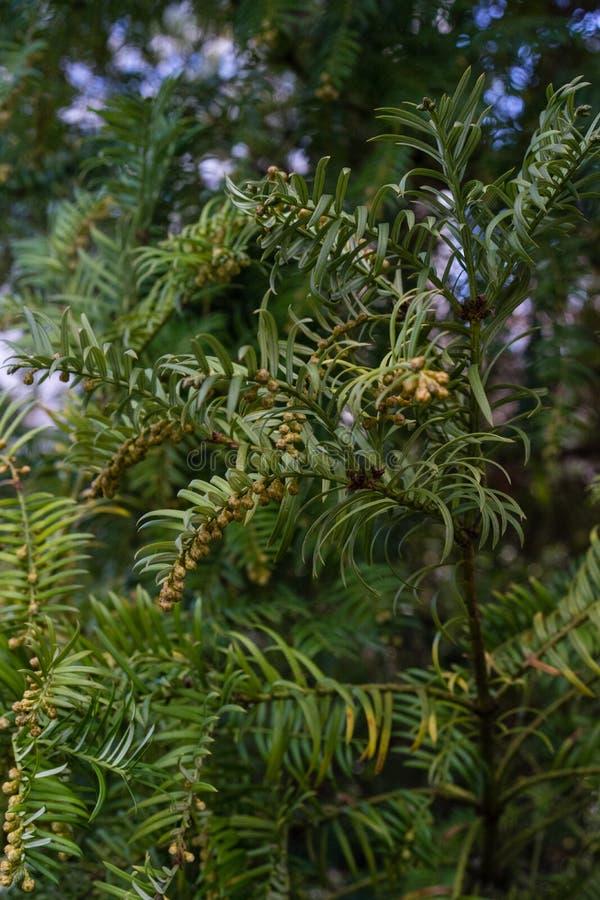 Árbol de abeto con la rama y las hojas, drupacea del harringtonia del cephalotaxus de Japón fotografía de archivo
