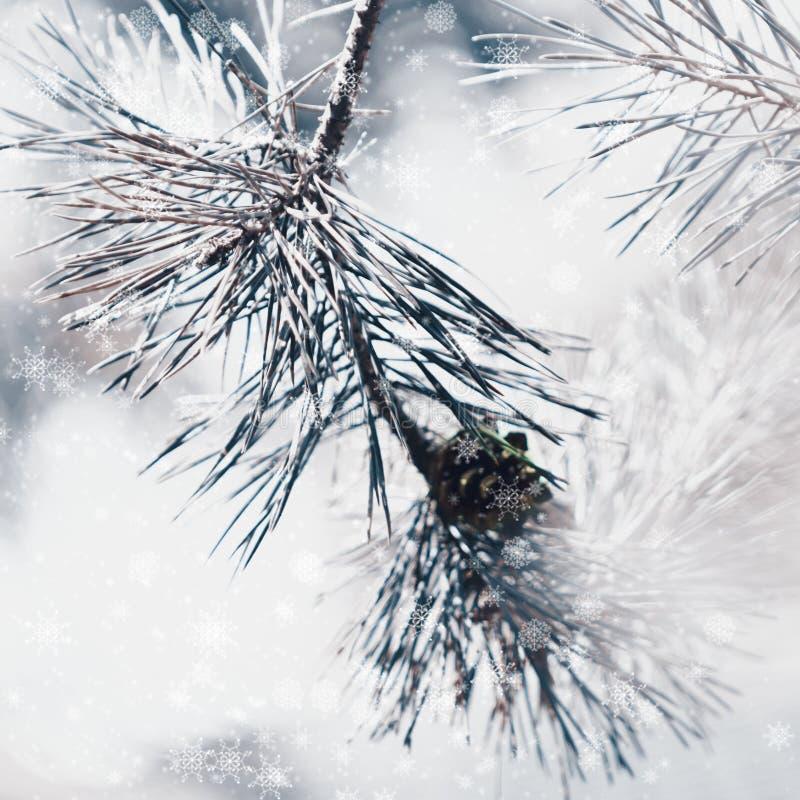 Árbol de abeto del invierno o rama congelado del pino con el bokeh, CCB de la Navidad foto de archivo