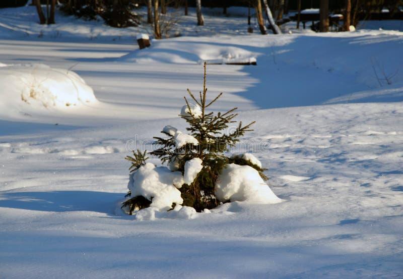 Árbol de abeto en el día de invierno frío fotos de archivo