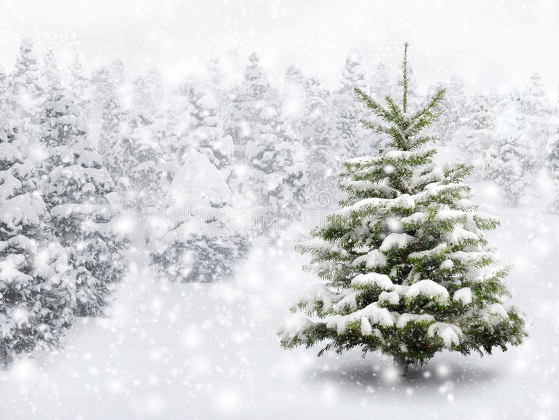 Árbol de abeto en nieve gruesa foto de archivo libre de regalías