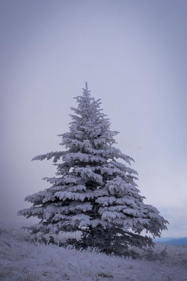Árbol de abeto de Frasier en el invierno imagen de archivo libre de regalías