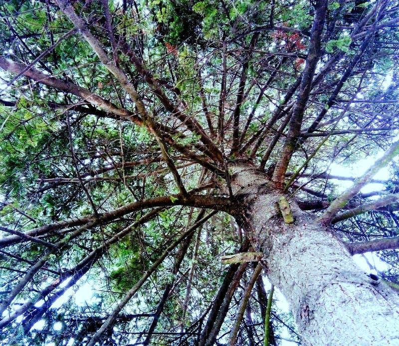 Árbol de abeto gigante de debajo fotos de archivo libres de regalías