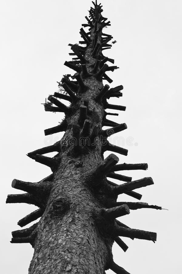 Árbol de abeto lisiado foto de archivo
