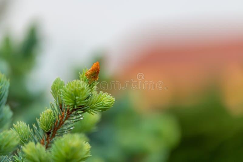 Árbol de abeto verde en tiempo de primavera en el jardín raindrops Fondo hermoso borroso naturaleza Una profundidad del campo exc fotos de archivo