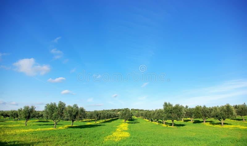 Árbol de aceitunas en campo verde en Portugal. foto de archivo