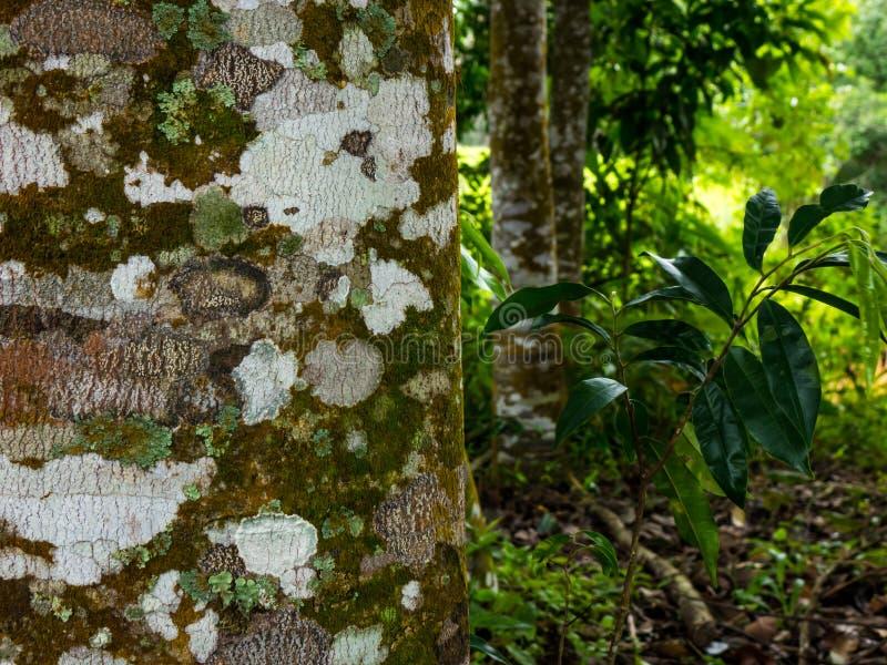 Árbol de Agarwood en el bosque fotografía de archivo