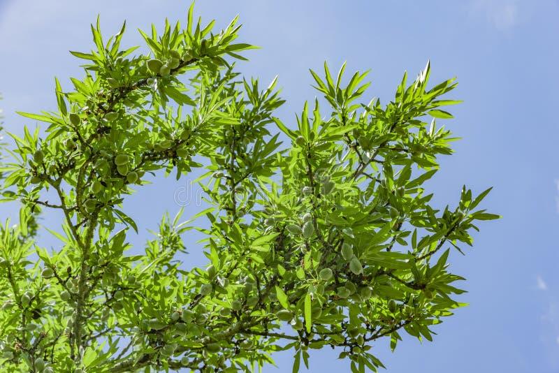 Árbol de almendra con las frutas en primavera fotografía de archivo libre de regalías