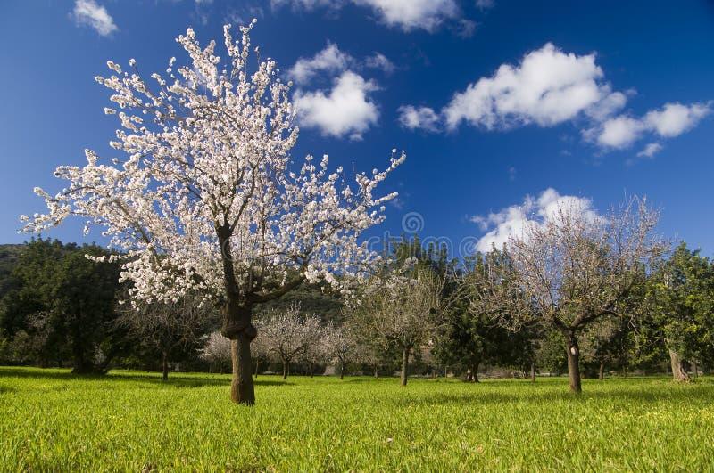 Árbol de almendra en campo fotografía de archivo
